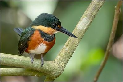 American Pygmy Kingfisher, Guapiles, Costa Rica, 28 March 2019
