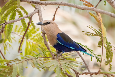 Blue-bellied Roller, Makasutu, Gambia, 24 February 2020
