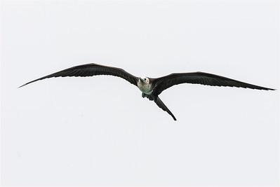 Magnificent Frigatebird, San Cristobal, Galapagos Islands, 13 January 2007
