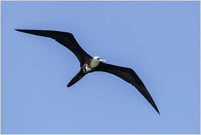 Magnificent Frigatebird, Tobago, Trinidad and Tobago, 11 November 2014