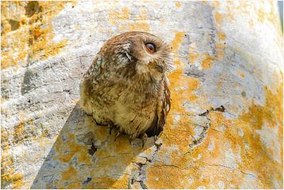 Bare-legged Owl, Zapata, Cuba, 25 March 2009
