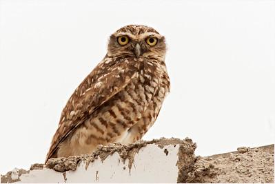 Burrowing Owl, Pantanos de Villa, Peru, 18 January 2007