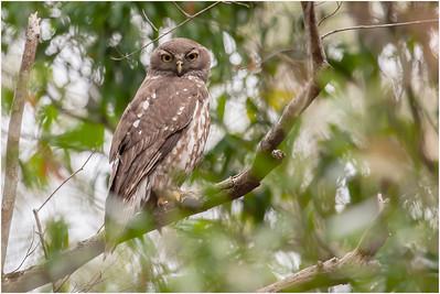 Barking Owl, Cordalaba, Queensland, Australia, 16 August 2007