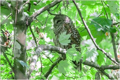 Barred Owl, Florida, USA, 4 March 2012