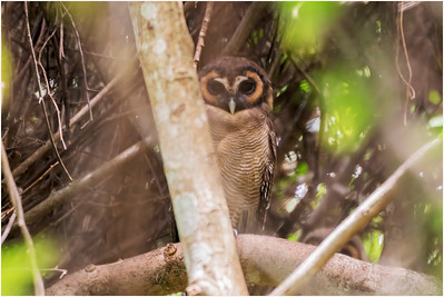 Brown Wood Owl, Welimada, Sri Lanka, 29 August 2019