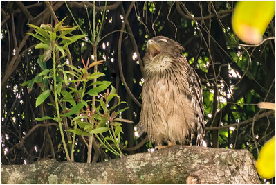 Brown Fish Owl, Yala, Sri Lanka, 25 August 2019