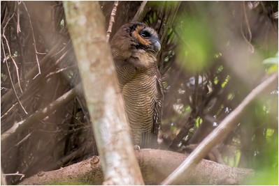 Brown Wood Owl, Welimada, Sri Lanka, 29 August 2019