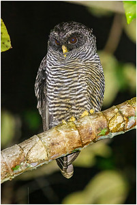 'San Isidro Owl', San Isidro, Ecuador, 14 November 2013