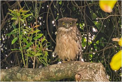 Brown Fish Owl, Yala, Sri Lanka, 25 August 2019