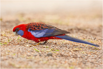 Crimson Rosella, Bunya Mountains, Queensland, Australia, 11 August 2007