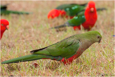 Australian King Parrot, Bunya Mountains, Queensland, Australia, 21 August 2007
