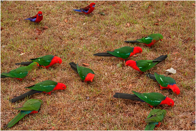 Australian King Parrot, Bunya Mountains, Queensland, Australia, 22 August 2007