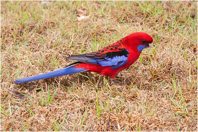 Crimson Rosella, Bunya Mountains, Queensland, Australia, 22 August 2007