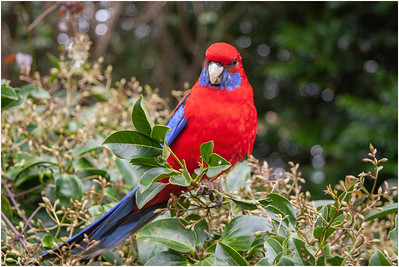 Crimson Rosella, Bunya Mountains, Australia, 22 August 2007