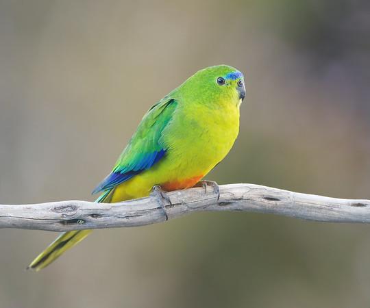 Orange-bellied Parrot female