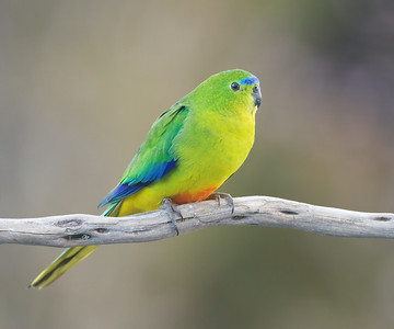 Orange-bellied Parrot female