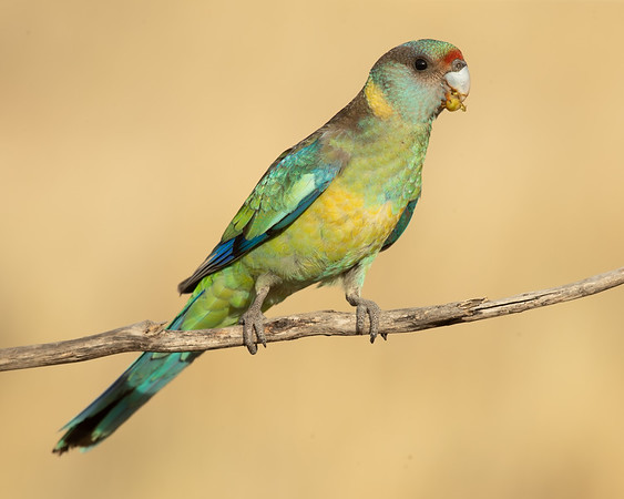 Mallee ringneck male