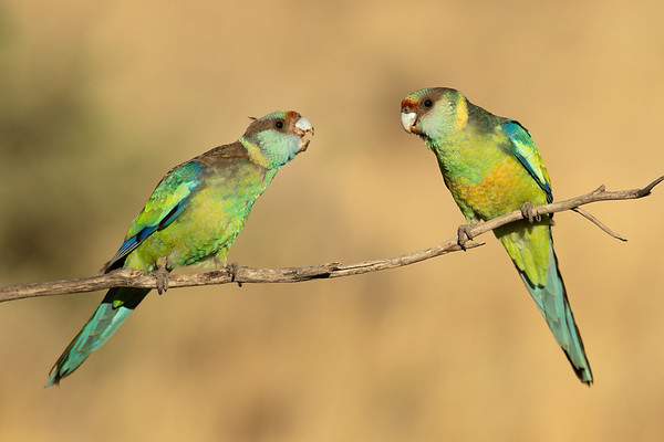 Mallee ringneck male and female