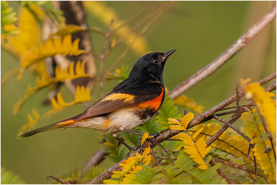 American Redstart, Zapata, Cuba, 26 March 2010
