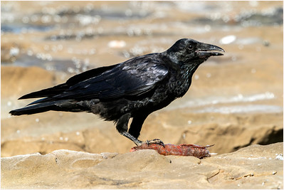 Australian Raven, Nelson, Victoria, Australia, 19 December 2019