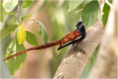 African Paradise Flycatcher, Makasutu, Gambia, 30 November 2017