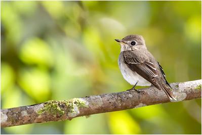 Asian Brown Flycatcher, Mang Den, Vietnam, 22 November 2012
