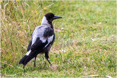 Australian Magpie, Lorne, Victoria, Australia, 18 December 2019