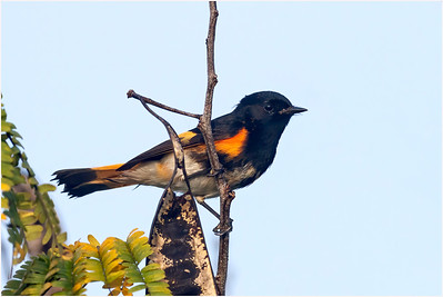 American Redstart, Zapata, Cuba, 26 March 2010