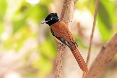 Red-bellied Paradise Flycatcher, Makasutu, Gambia, 27 February 2019