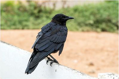 Australian Raven, Werribee, Victoria, Australia, 23 December 2019