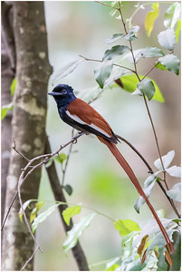 African Paradise Flycatcher, Makasutu, Gambia, 26 November 2017