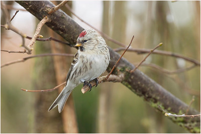 Arctic Redpoll, Kelling, Norfolk, United Kingdom, 15 February 2012