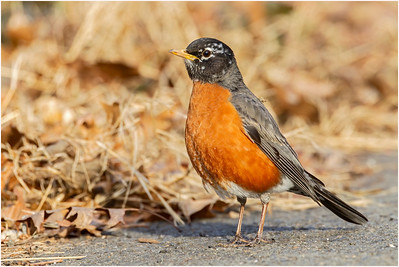 American Robin, Washington D.C., USA, 1 March 2014