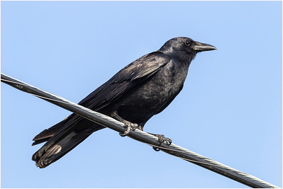 American Crow, Florida, USA, 3 March 2012