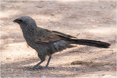 Apostlebird, Morgan, South Australia, Australia, 12 December 2019