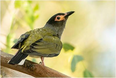 Australasian Figbird, Brisbane, Queensland, Australia, 4 January 2020