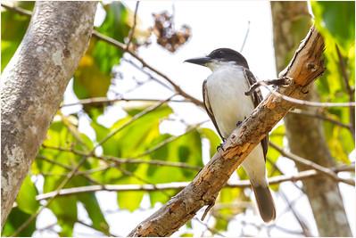 Giant Kingbird, Najasa, Cuba, 31 March 2010