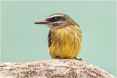 Golden-crowned Flycatcher, San Isidro, Ecuador, 14 November 2013