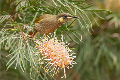 Lewin's Honeyeater, Atherton, Queensland, Australia, 10 August 2007