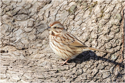Lincoln's Sparrow, Washington D.C., USA, 1 March 2014