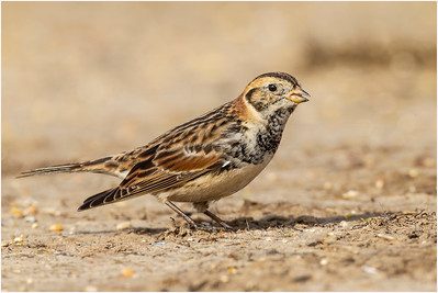 Lapland Longspur, Brancaster, Norfolk, United Kingdom, 14 March 2016