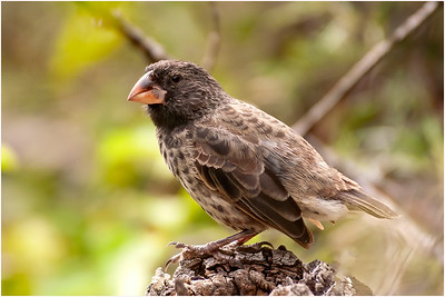 Large Ground Finch, San Cristobal, Galapagos Islands, 11 January 2007