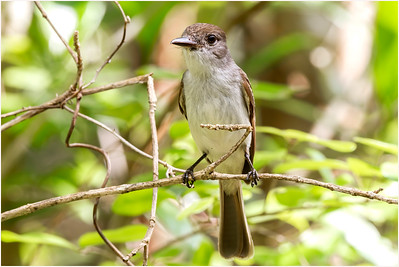 La Sagra's Flycatcher, Zapata, Cuba, 27 March 2010