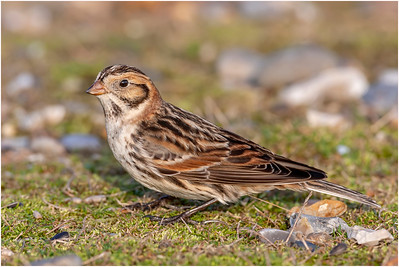Lapland Longspur, Salthouse, Norfolk, United Kingdom, 9 January 2008