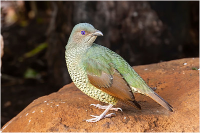 Satin Bowerbird, Lamington, Queensland, Australia, 20 August 2007