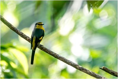 Scarlet Minivet, Kithulgala, Sri Lanka, 20 August 2019