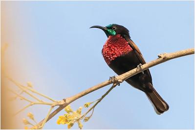Scarlet-chested Sunbird, Makasutu, Gambia, 27 February 2020