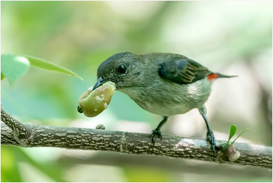 Scarlet-backed Flowerpecker, Sungei Buloh, Singapore, 16 November 2019