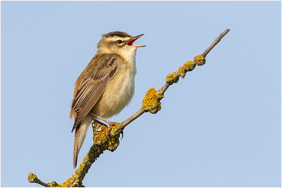 Sedge Warbler, Cley, Norfolk, United Kingdom, 21 May 2011
