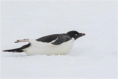 Adelie Penguin, Red Rock Ridge, Antarctica 22 January 2019